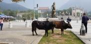 Cows everywhere...
