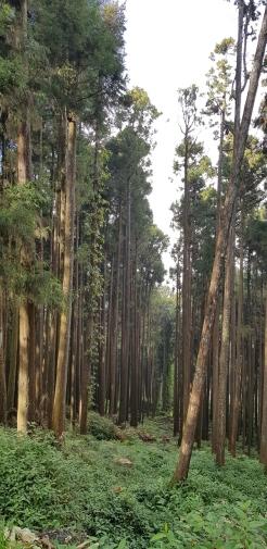 Tall, straight trees.