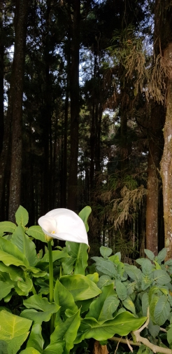 Calla Lilies strive here.