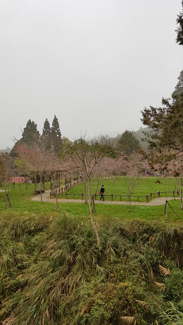 A small field of cherry blossoms.